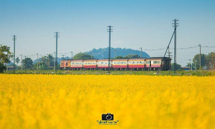 """นั่งรถไฟ ชมความเหลืองอร่ามของ """"ทุ่งปอเทืองบ้านเขาวงษ์"""" จ.นครสวรรค์"""