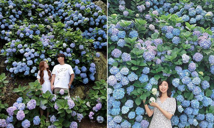 ดอกไฮเดรนเยีย บานแล้ว ได้เวลาตีตั๋วไป เกาะเชจู