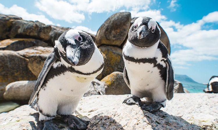 เที่ยว Boulders Beach หมู่บ้านเพนกวิน ที่เคปทาวน์
