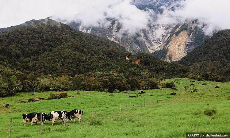 Desa Cattle Dairy Farm ฟาร์มโคกลางเขา มาเลเซียฟีลยุโรป!
