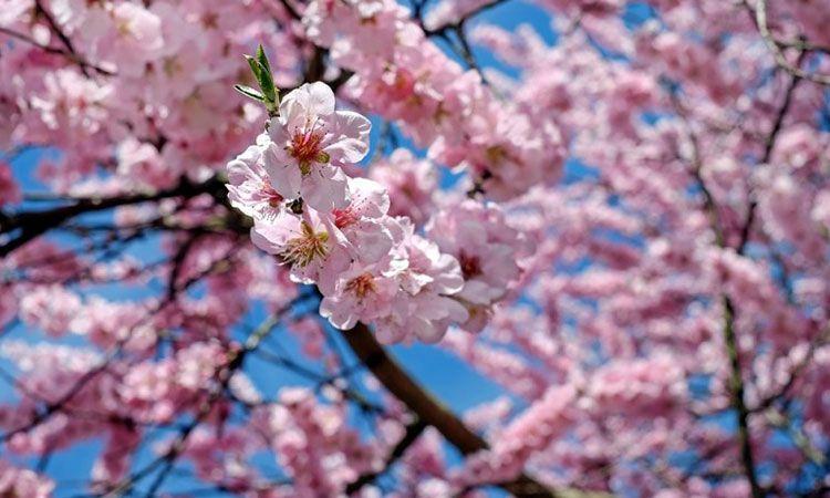 ไปปิกนิก ชมซากุระ ณ เทศกาลฮานามิ (Hanami) ที่ญี่ปุ่นกันเถอะ!
