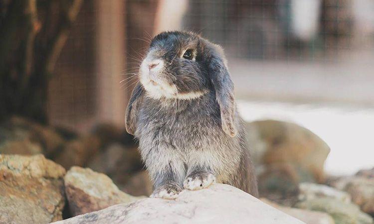 ชมความน่ารักของน้องกระต่ายหูตก ที่ฟาร์มกระต่าย เวเนโต้ สวนผึ้ง จ.ราชบุรี